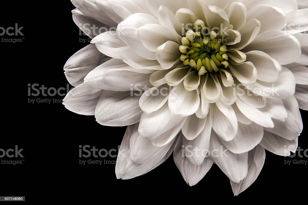 White chrysanthemum at the right of the black background stock photo