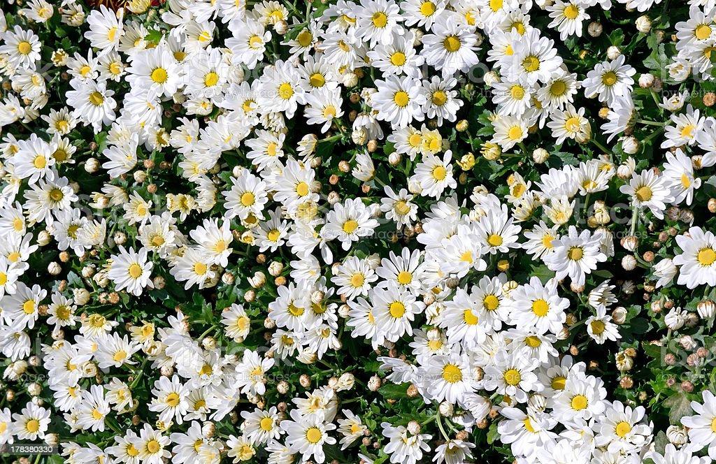 White chrysanthemum backgrounds royalty-free stock photo