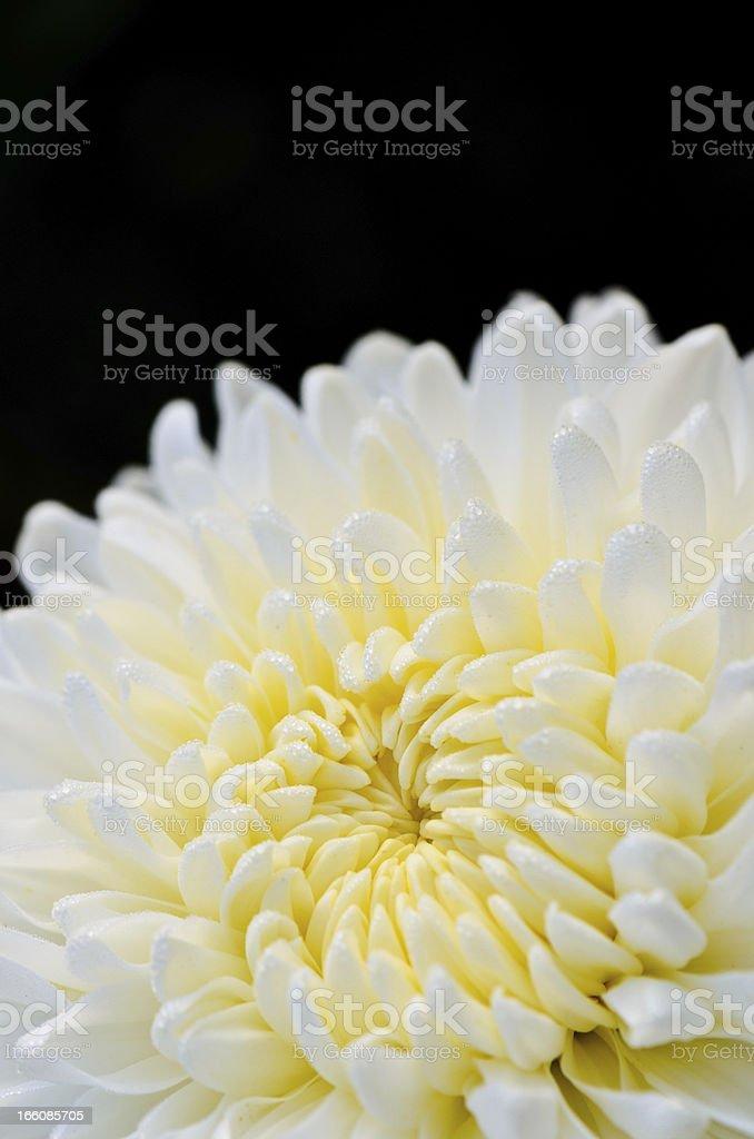 White chrysanthemum close up royalty-free stock photo