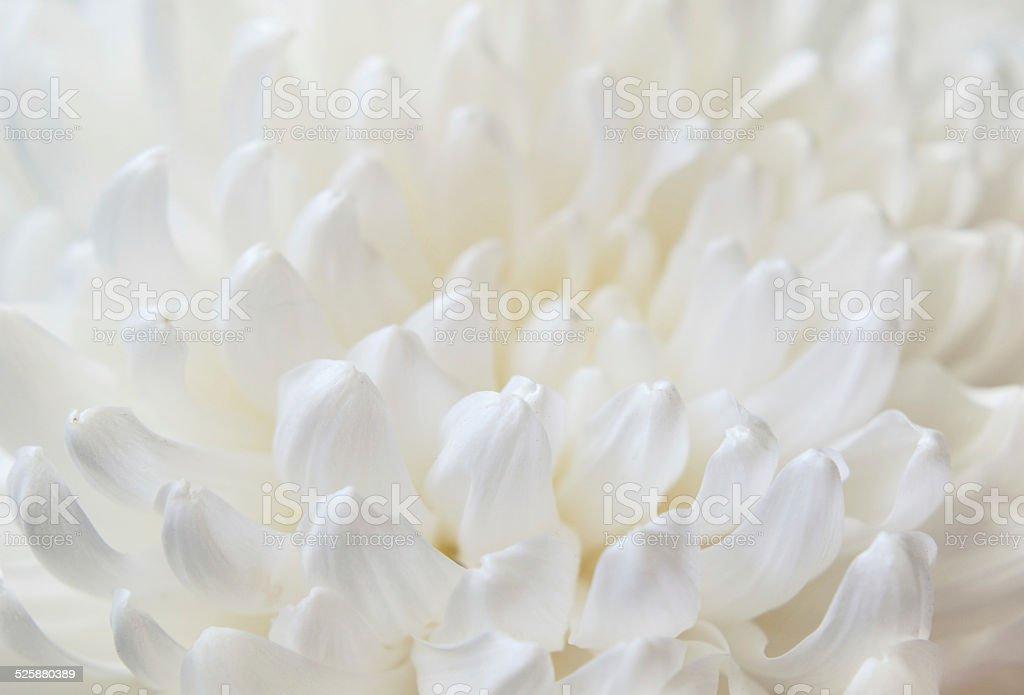 White chrysanthemum flower stock photo