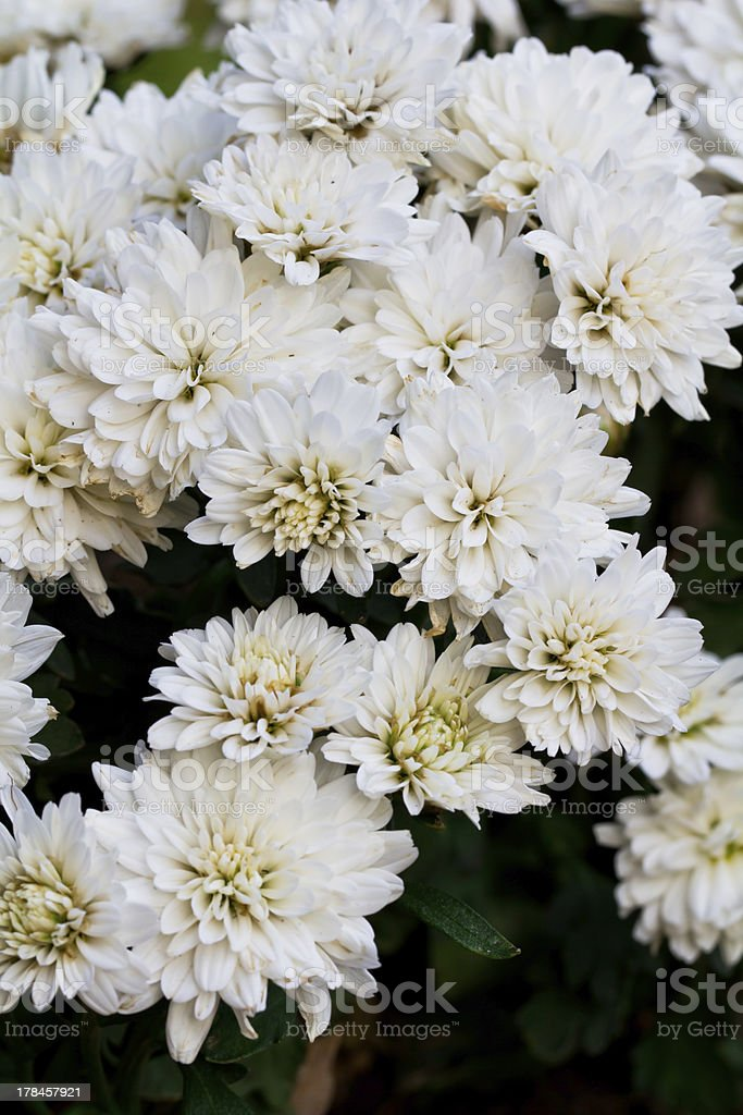White Chrysanthemum Flowers in garden royalty-free stock photo