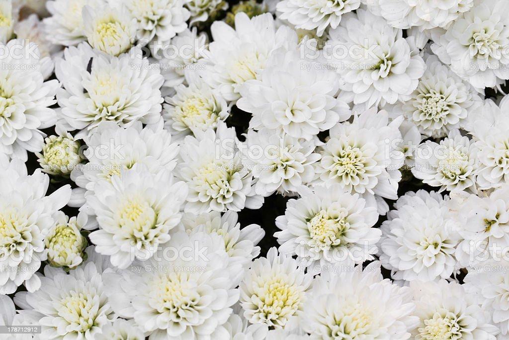 White Chrysanthemum Flowers in garden royalty-free stock photo