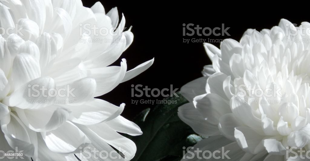 White Chrysanthemum Flowers stock photo