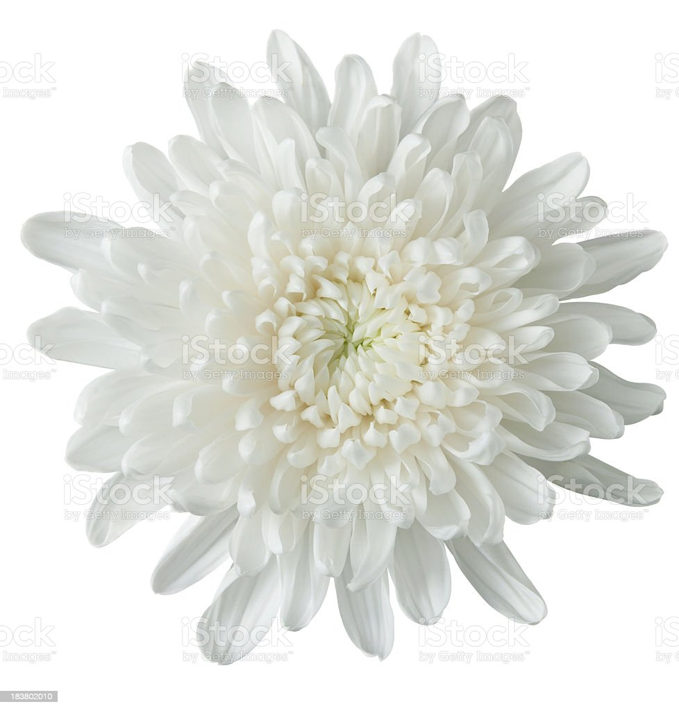 white chrysanthemum royalty-free stock photo