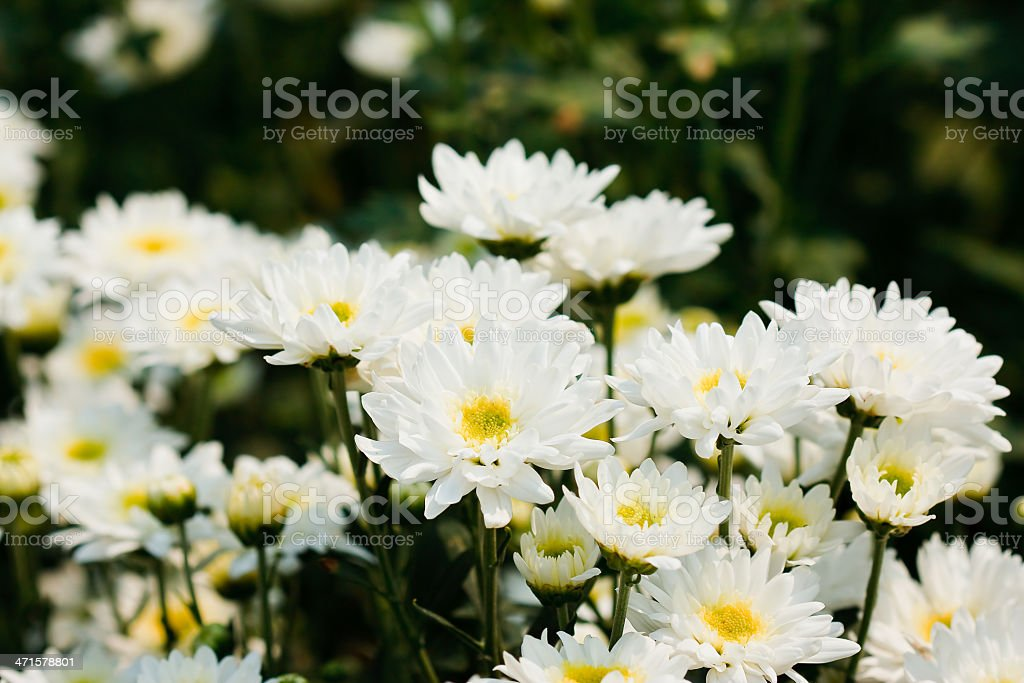 white chrysanthemums flowers royalty-free stock photo