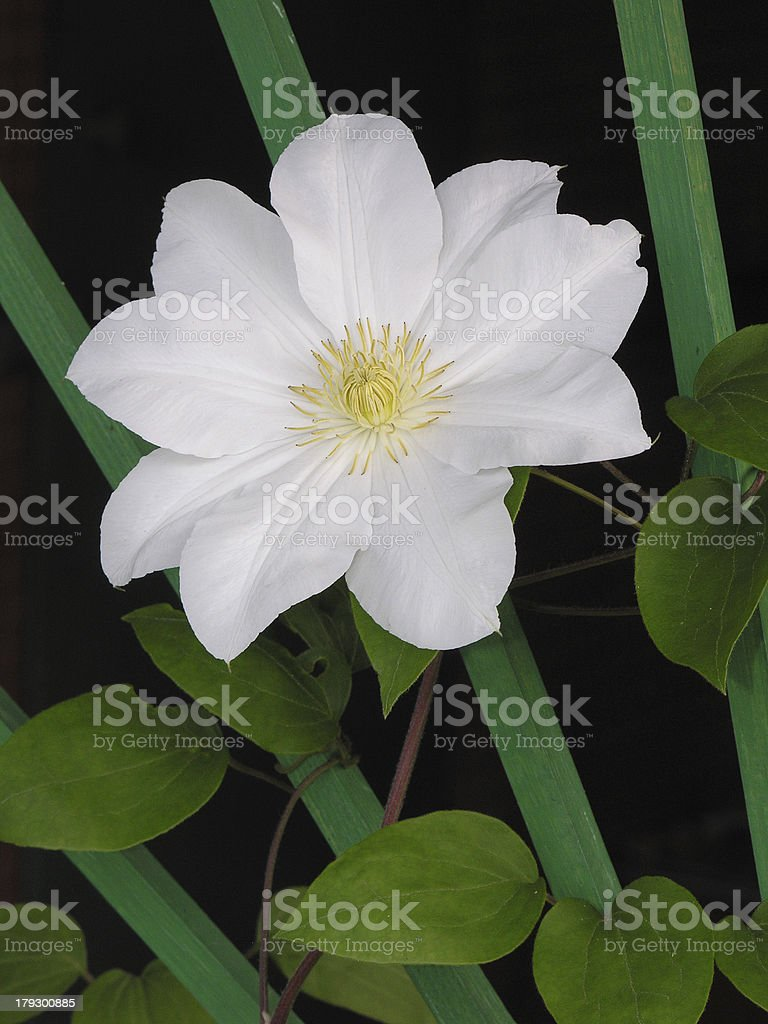 White clematis flower royalty-free stock photo