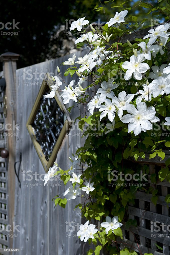 White Clematis royalty-free stock photo