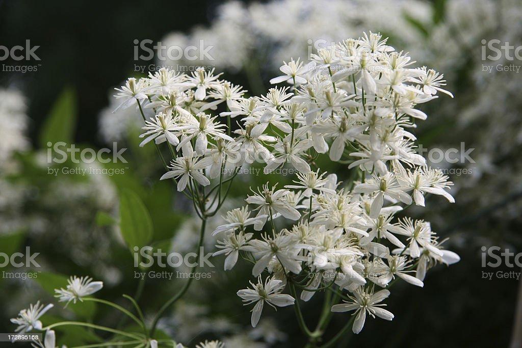 white clematis royalty-free stock photo