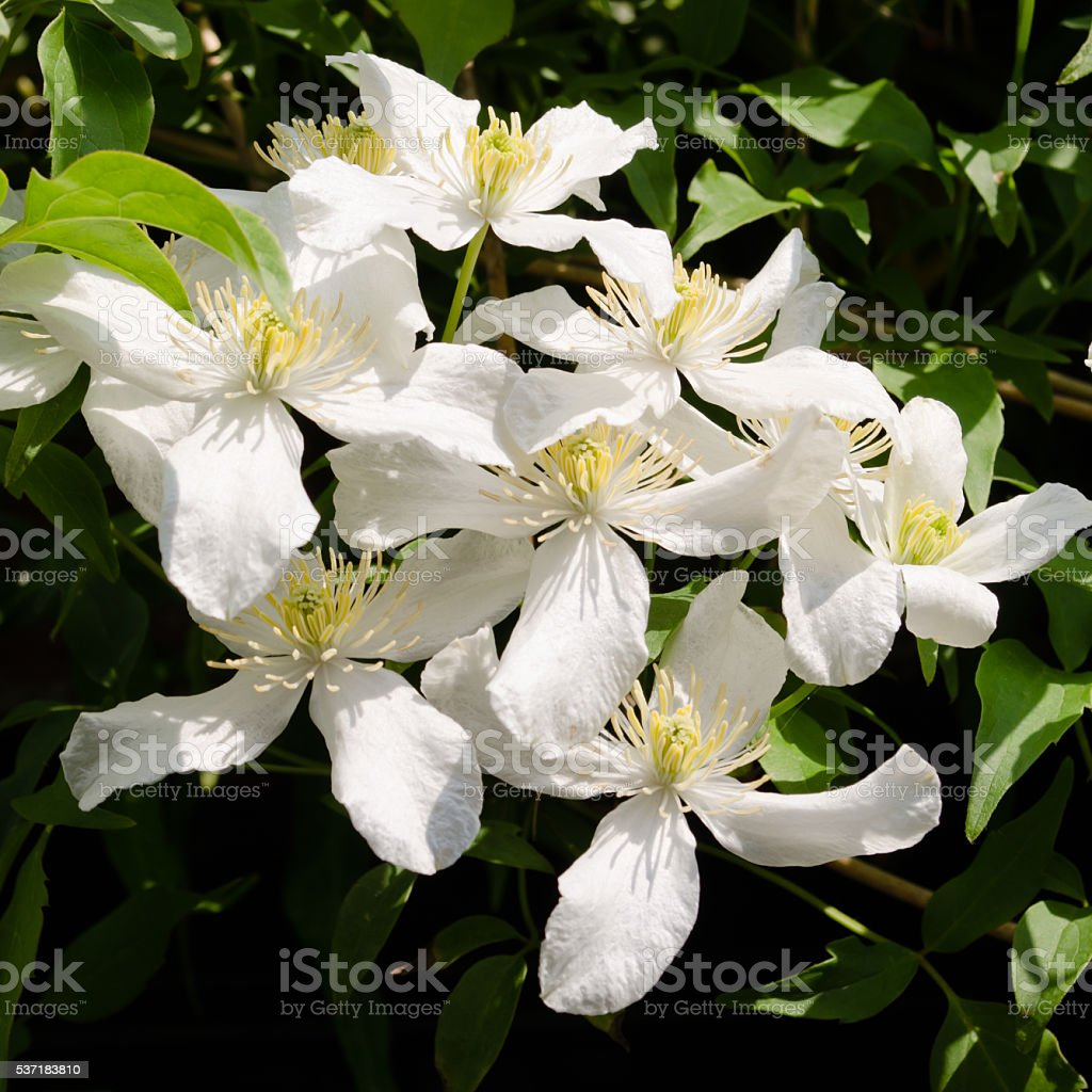 White clematis stock photo
