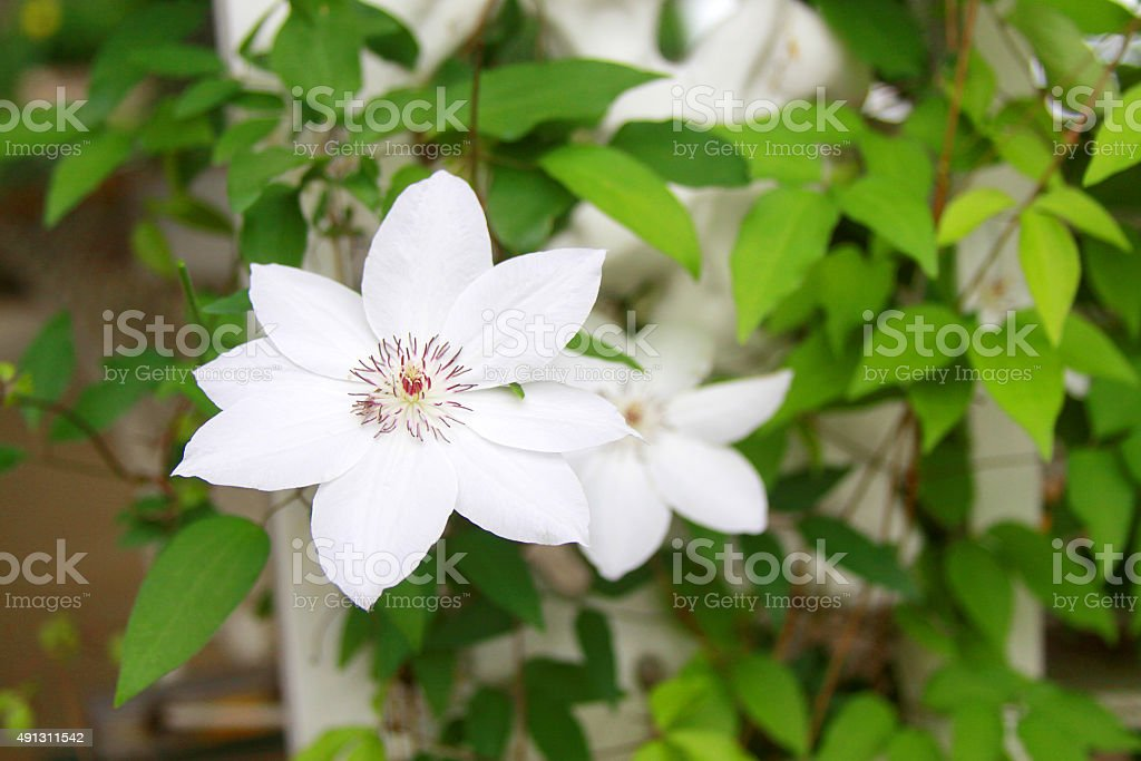 White Clematis Vine Flower stock photo