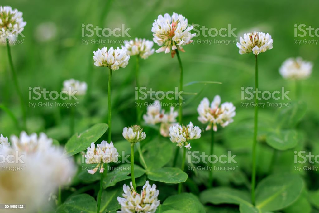 White clover, juicy grass. White buds. stock photo