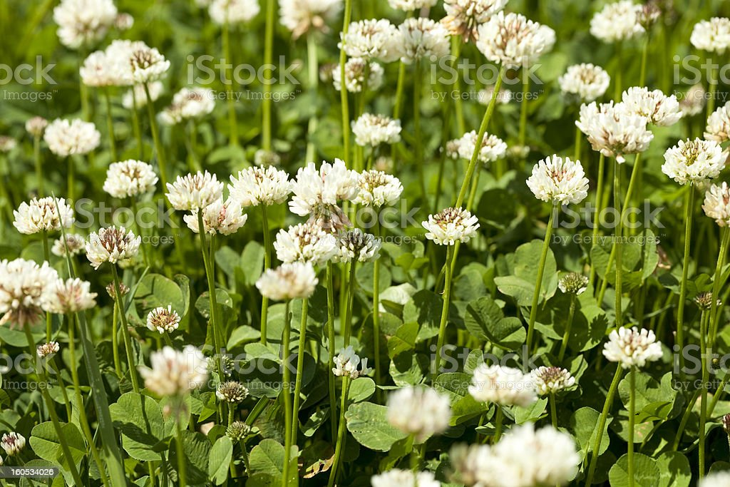 white clover royalty-free stock photo