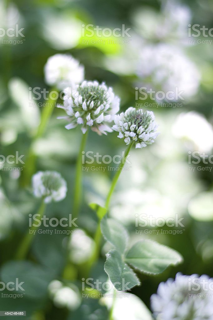 White clover royalty-free stock photo