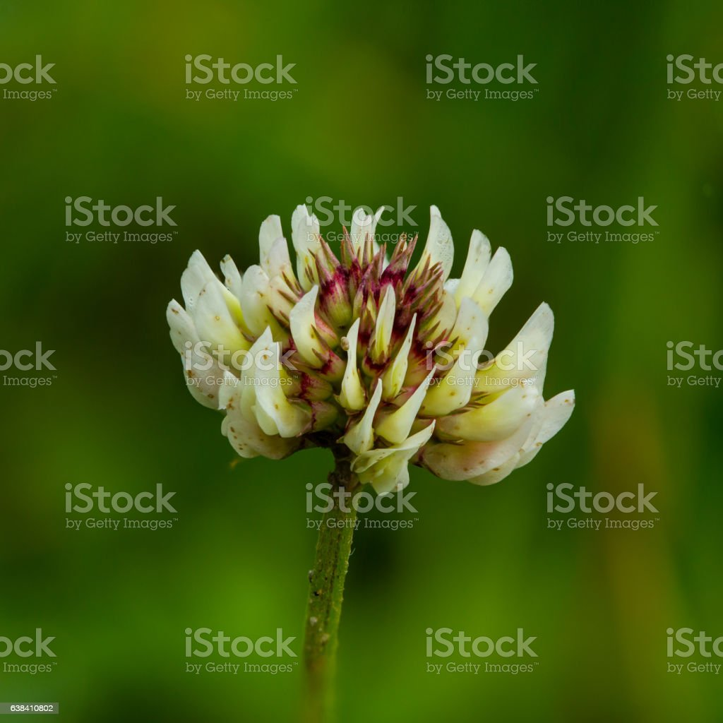 white clover (Trifolium repens) stock photo