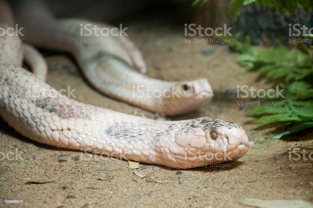 Biały Cobra zbiór zdjęć royalty-free