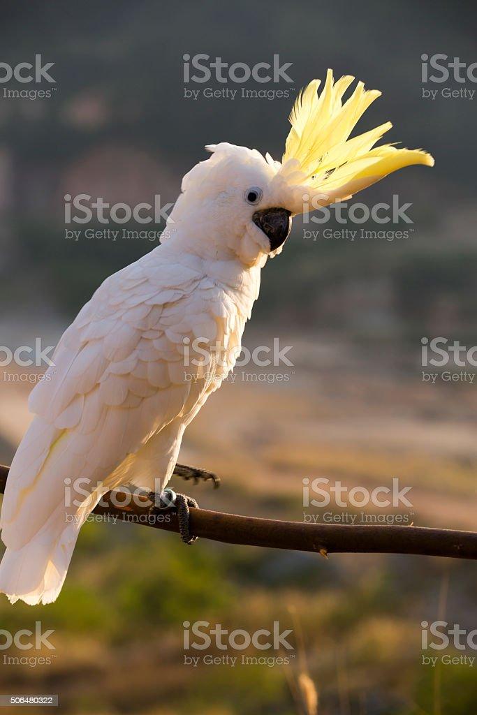 White Cockatoo Bird stock photo