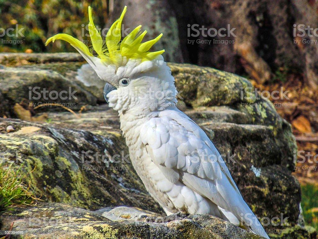 White Cockatoo Display stock photo