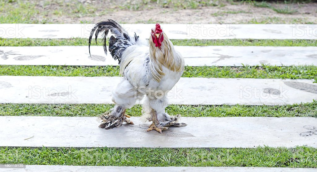White Cockerel (Rooster) royalty-free stock photo