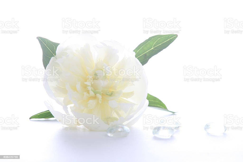 White color beautiful peony with diamonds stock photo