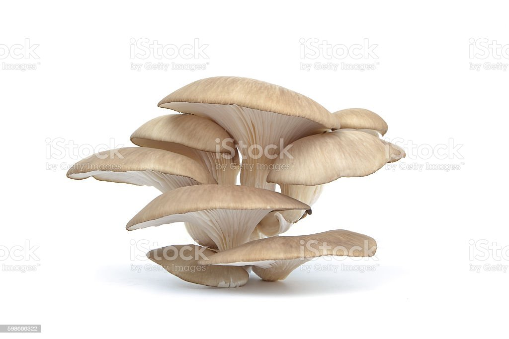 White colored Oyster mushroom stock photo