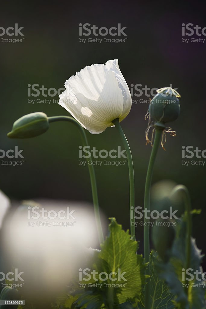 White Colored Poppy Flowers royalty-free stock photo