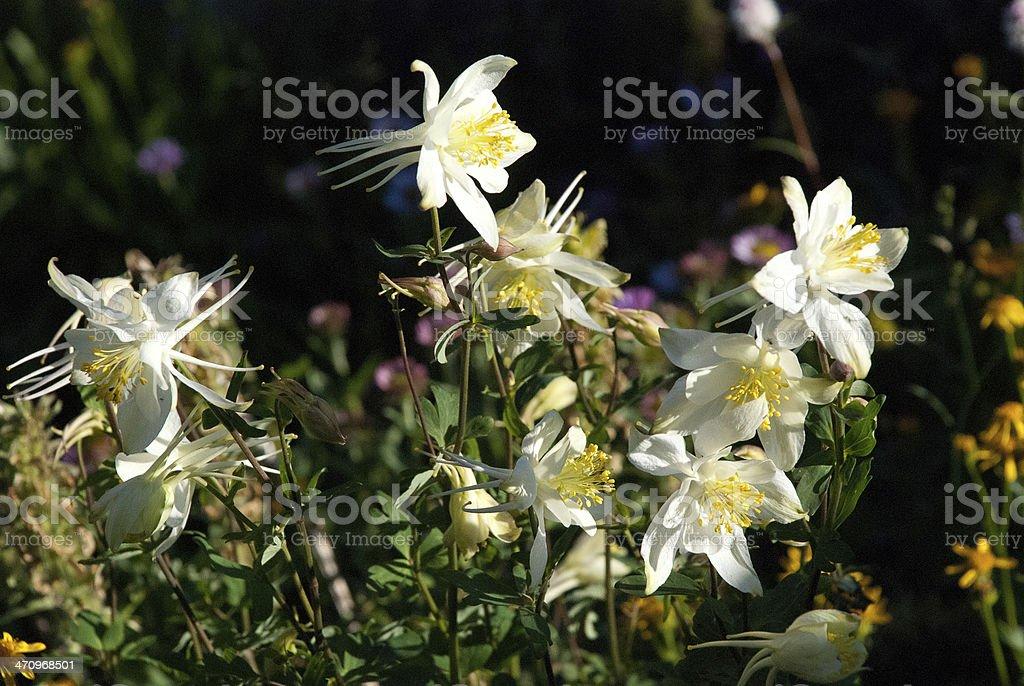 White Columbine Flowers Snowy range Wyoming stock photo