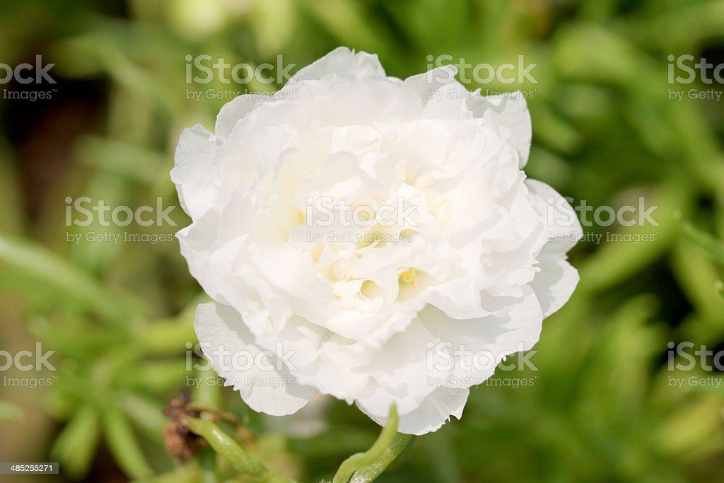 White Common Purslane flower in the garden. stock photo