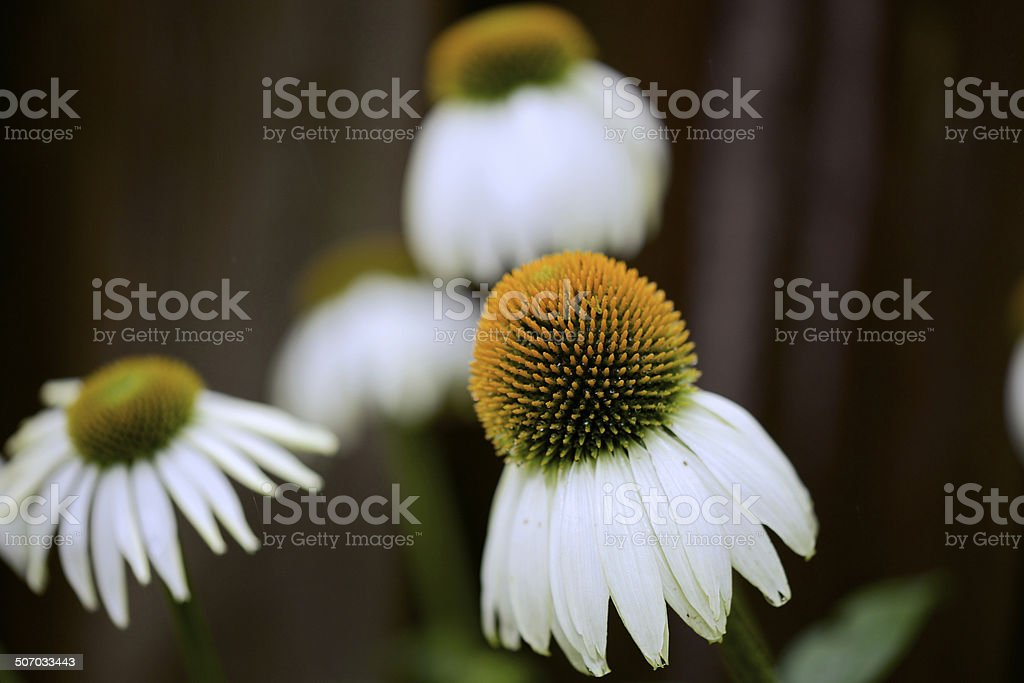 White Cone Flowers in a Garden stock photo