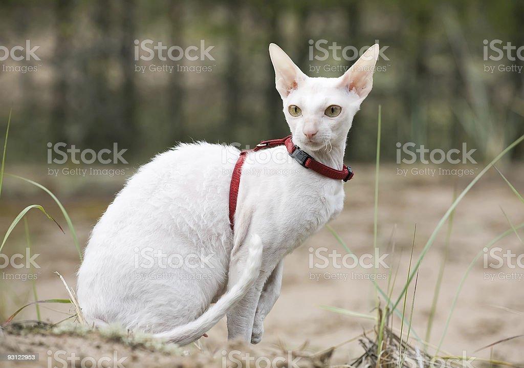 white cornish rex cat stock photo