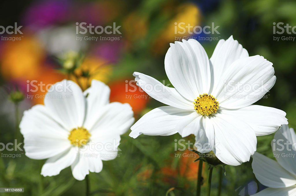 White cosmee flower royalty-free stock photo