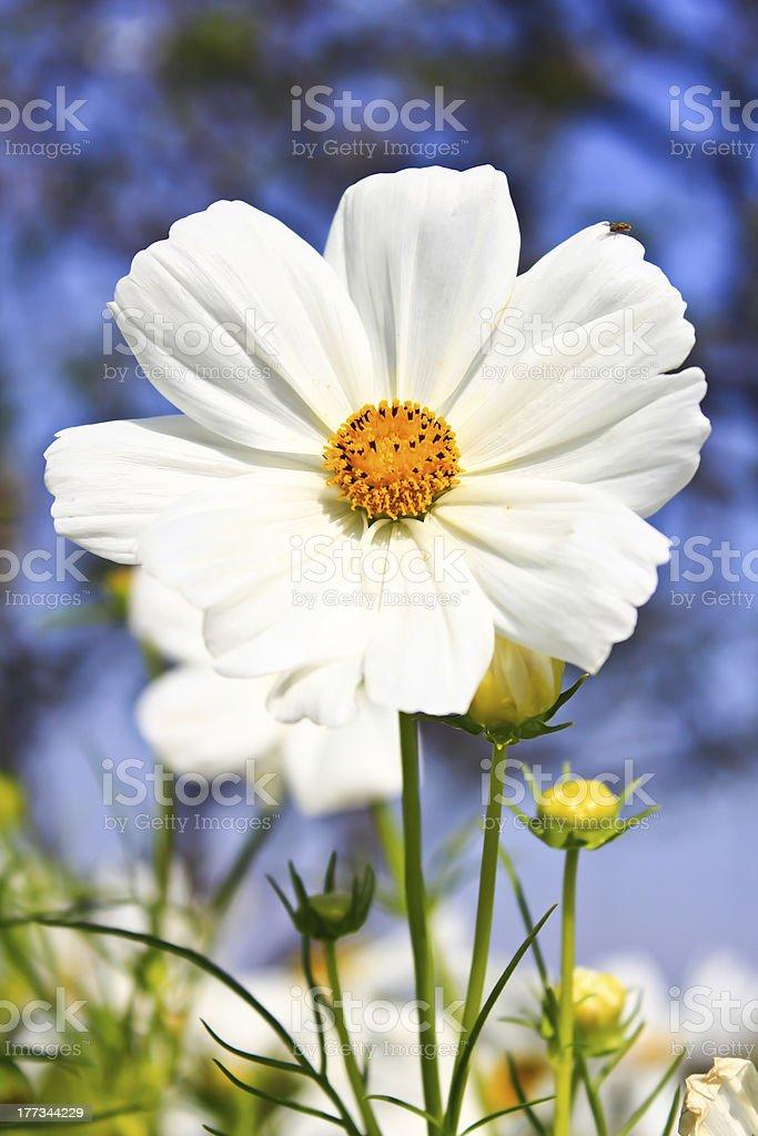 White Cosmos Flower royalty-free stock photo