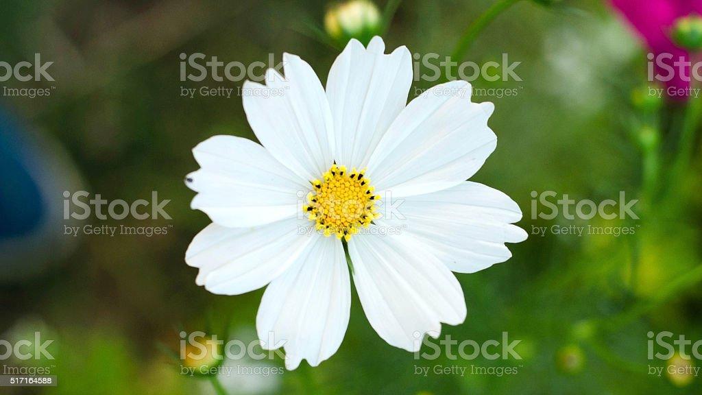 Cosmos flores en Graden blanco foto de stock libre de derechos