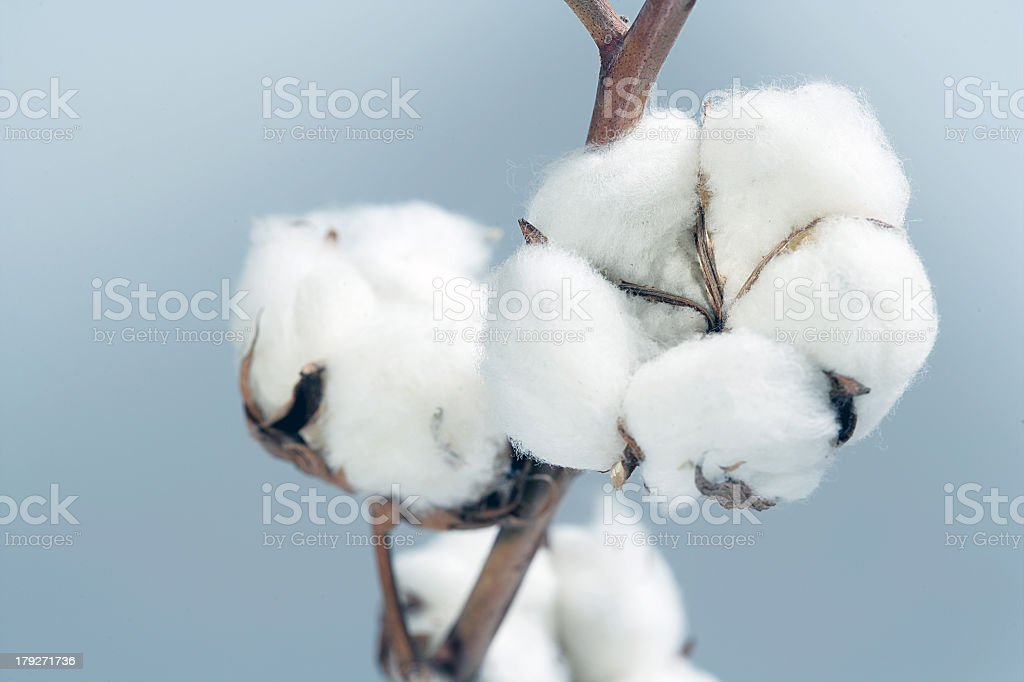 White cotton flowers blooming from the tree  stock photo