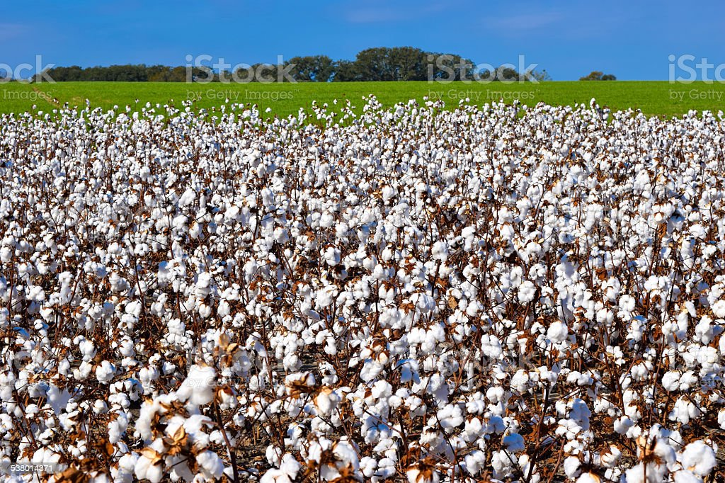 White Cotton Plants against Green Field and Blue Sky stock photo
