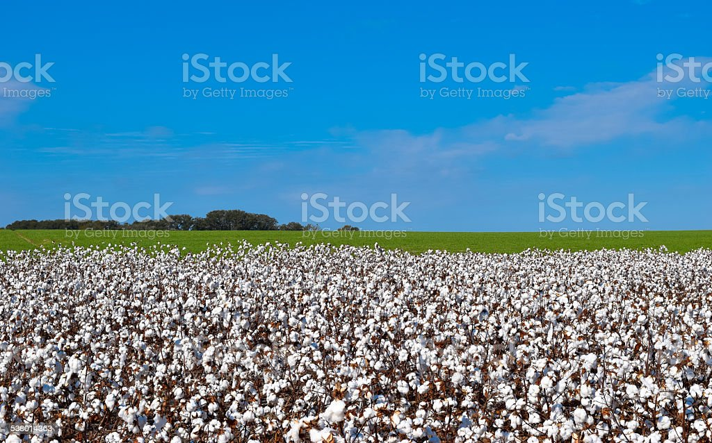 White Cotton Plants with Blue Sky stock photo
