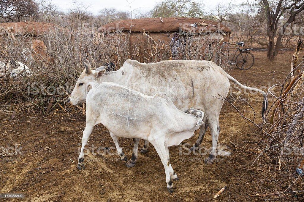 White cow and calf, Zebu cattle, in maasai village. stock photo