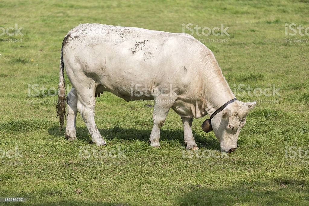 White cow in Dutch pasture stock photo