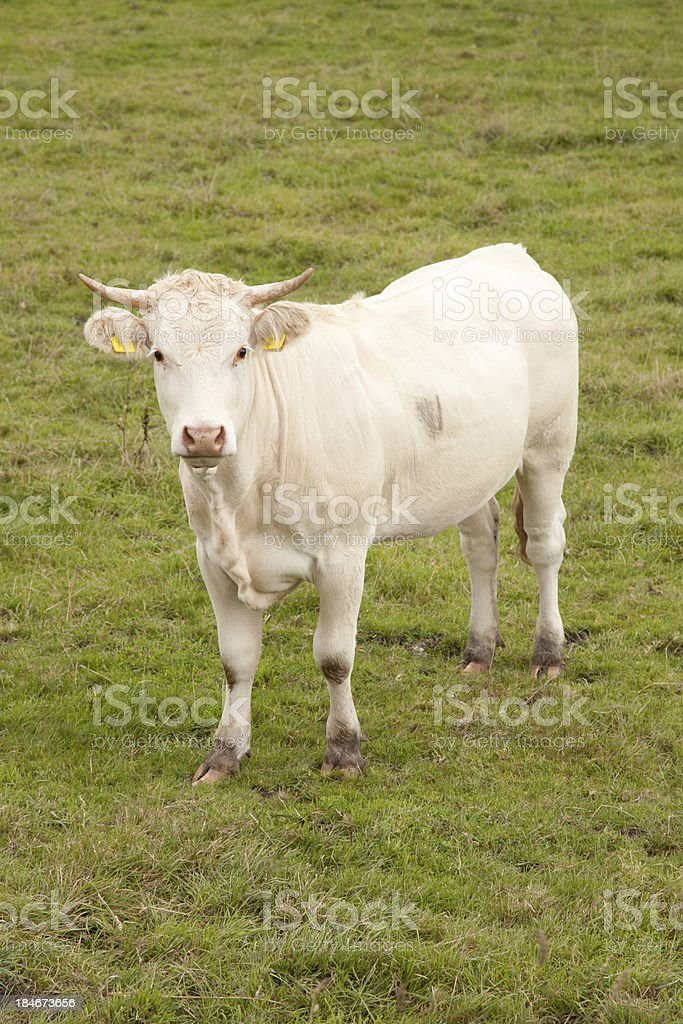 white cow in meadow looking royalty-free stock photo