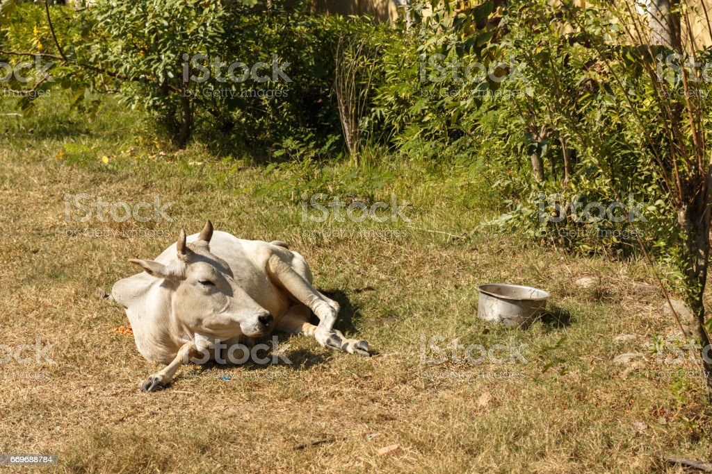 White cow lies on green grass, Nepal stock photo