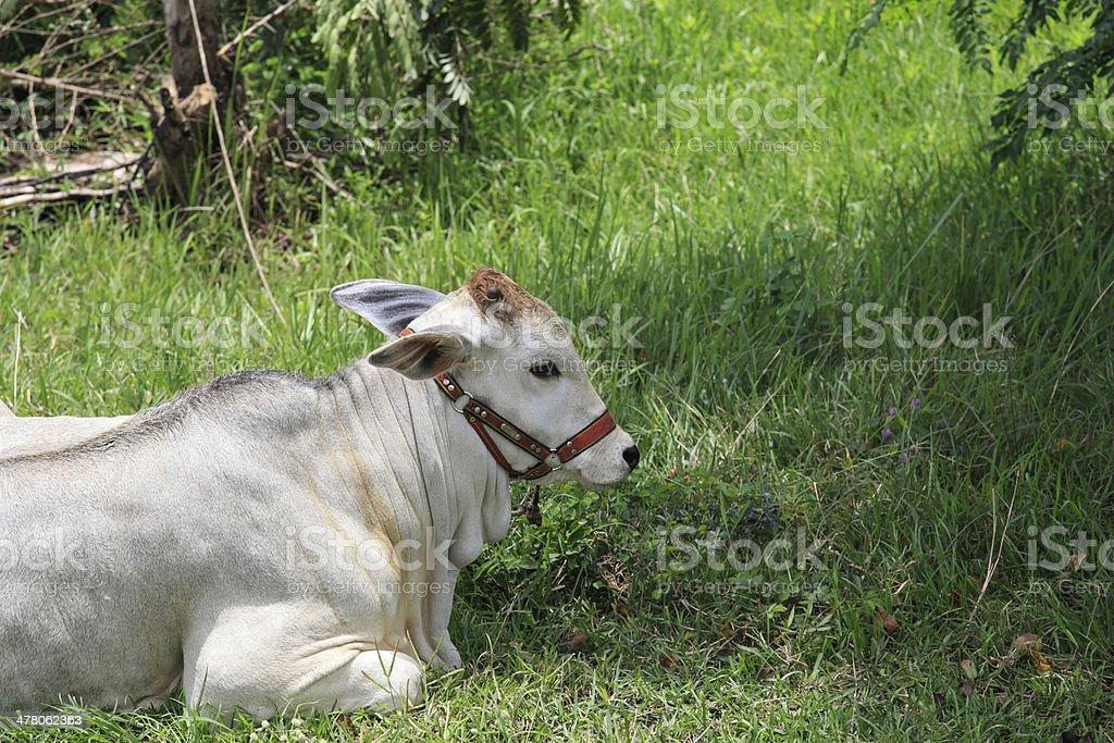 White cow royalty-free stock photo