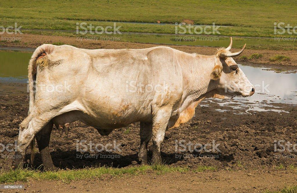 White cow stock photo