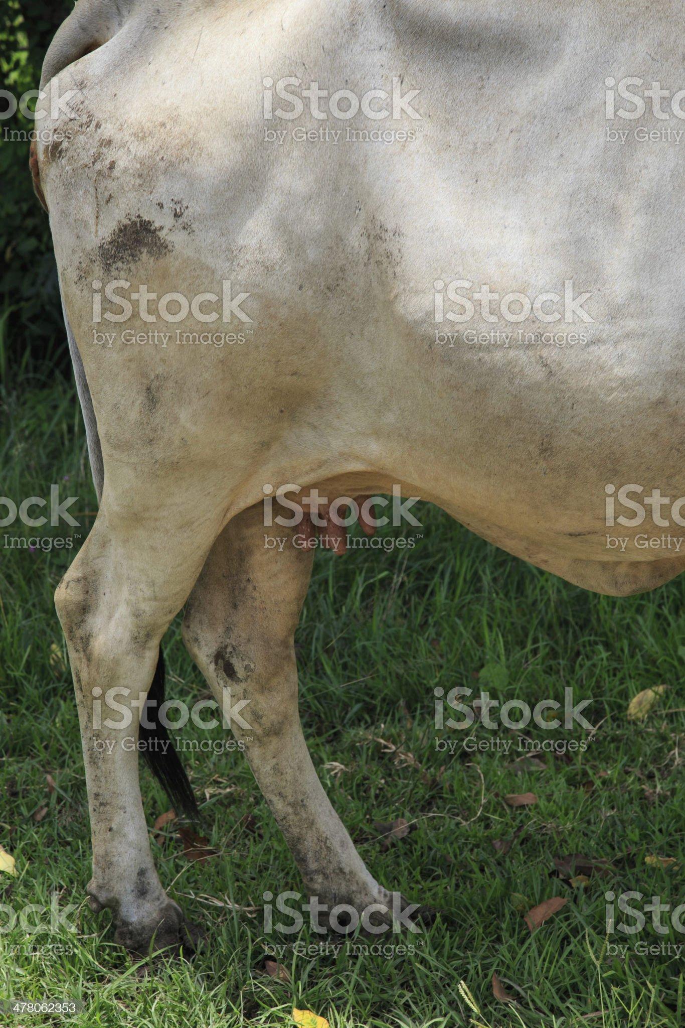 White cow skin royalty-free stock photo
