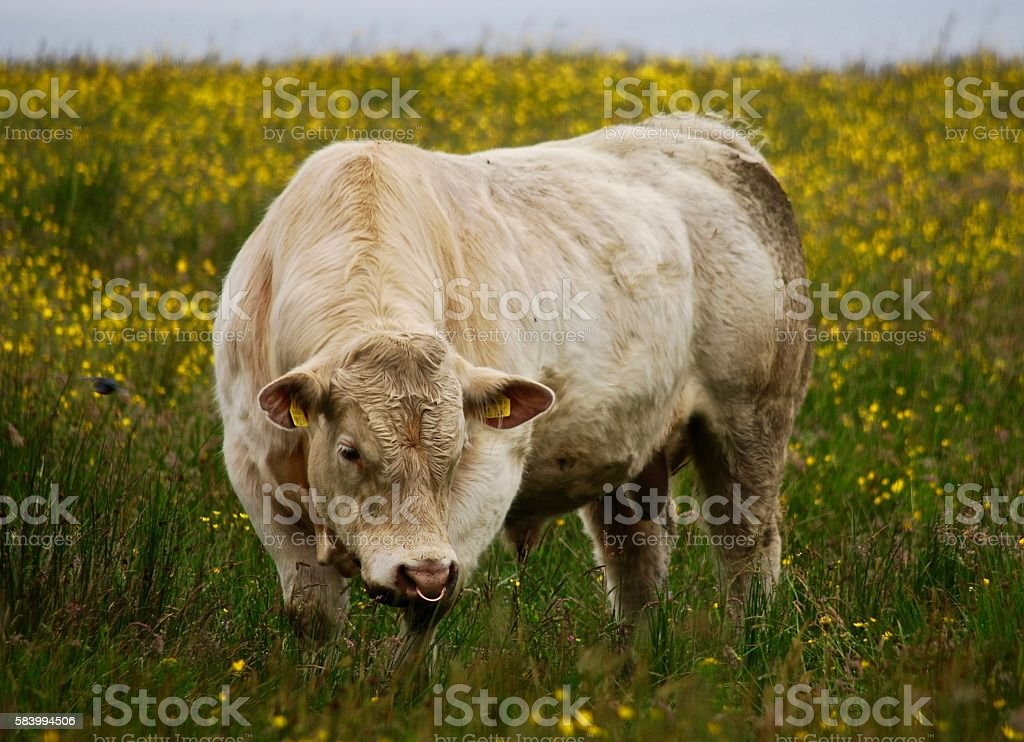 White cow walking in a green field stock photo