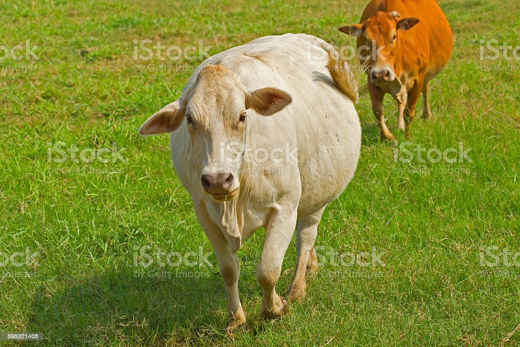 White cows in the green field stock photo