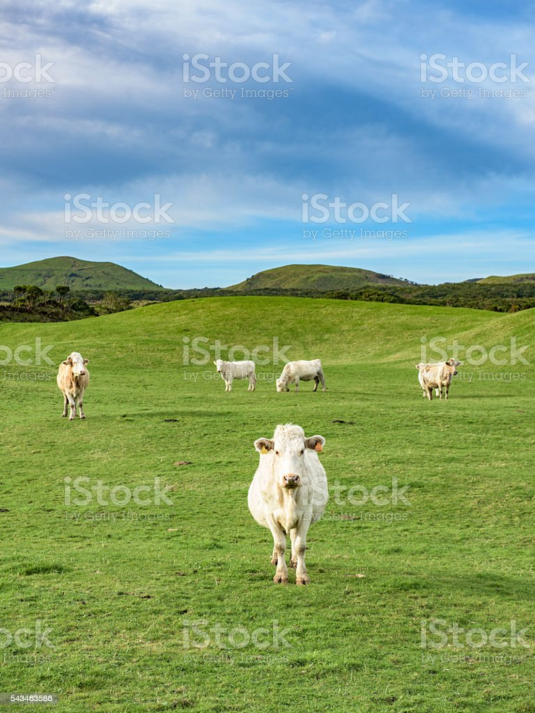 White cows on a green meadow in clean hills. stock photo