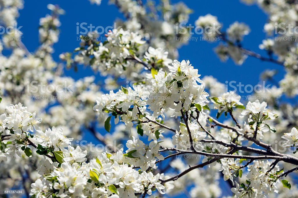 White Crabapple tree in full bloom stock photo
