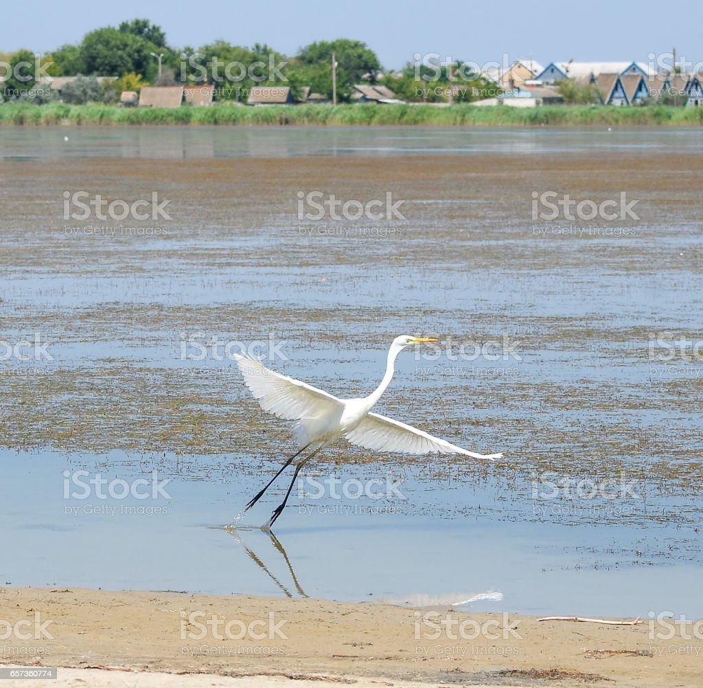 White crane bird flying near beautiful pond stock photo
