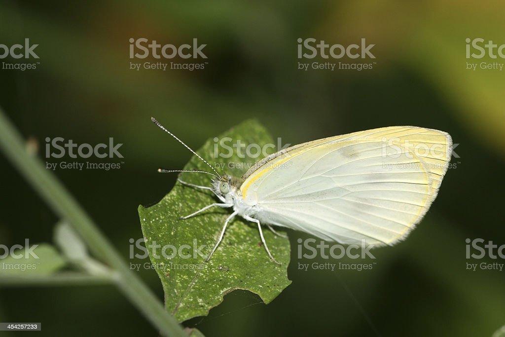 white crataegi in the wild royalty-free stock photo