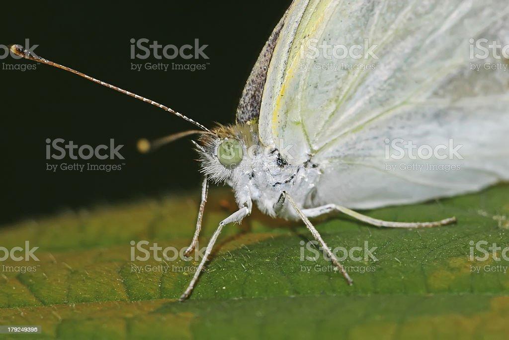 white crataegi on a green leaf royalty-free stock photo