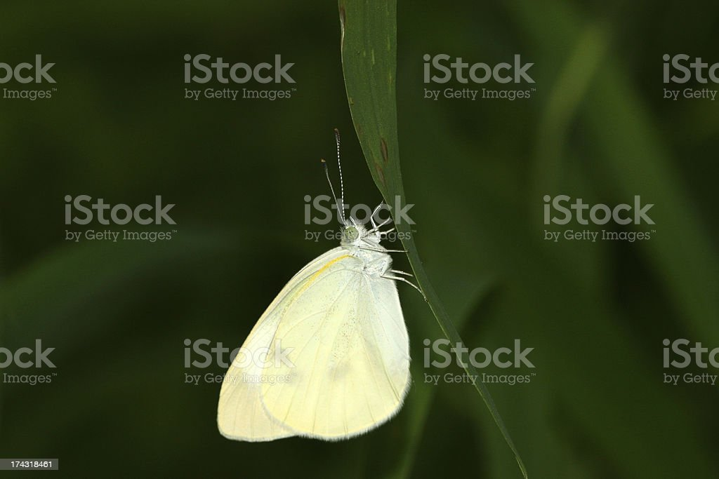 white crataegi on green leaf in the wild royalty-free stock photo